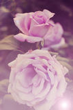 Beautiful pink rose. Delicate flower Stock Images
