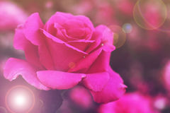 Beautiful pink rose. Delicate flower Royalty Free Stock Photo