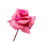 Beautiful pink rose with dew is isolated on white background, cl Stock Photo