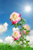 Beautiful pink rose flower Royalty Free Stock Images