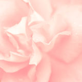 Beautiful pink rose flower Royalty Free Stock Photography