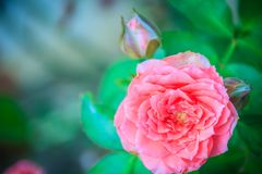 Beautiful Pink Rose flower blooming on a bush in backyard rose g. Arden Royalty Free Stock Photos