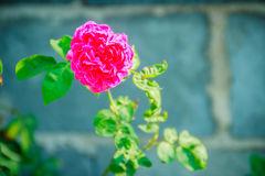 Beautiful Pink Rose flower blooming on a bush in backyard rose g. Arden Stock Photo