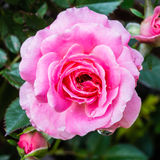 Beautiful pink rose flower blooming in the garden. With shallow depth of field Stock Image