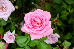 Beautiful pink rose flower Royalty Free Stock Image