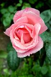 Beautiful pink rose flower stock photos
