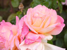 Beautiful pink rose flower heads outside uk Stock Images