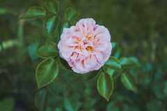 Beautiful pink rose flower. A large bush, blossoms in the park Stock Photography