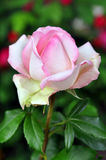 Beautiful Pink Rose Flower Royalty Free Stock Photo