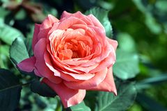 A Beautiful Pink Rose Flower With plant In Graden. A rose is a woody perennial flowering plant of the genus Rosa, in the family Rosaceae, or the flower it bears royalty free stock photos
