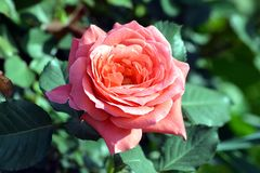 A Beautiful Pink Rose Flower With plant In Graden. A rose is a woody perennial flowering plant of the genus Rosa, in the family Rosaceae, or the flower it bears royalty free stock image