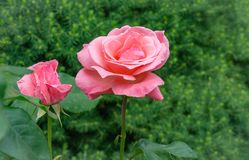 Beautiful pink rose flower Queen Elizabeth with bud in natural sunlight on evergreen background