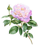 Beautiful pink rose flower watercolor illustration Stock Photography