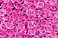 Beautiful pink rose flowers Royalty Free Stock Images