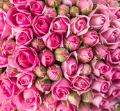 Beautiful pink rose flowers Stock Photos