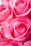 Beautiful pink rose flowers background Royalty Free Stock Images