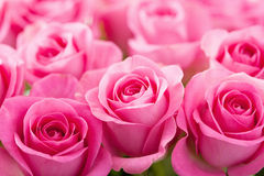Beautiful pink rose flowers background Stock Image