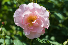 Beautiful pink rose flowers blooming  in the garden at sunny sum. Mer or spring day,Nagano,Japan Stock Images