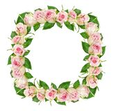 Beautiful pink rose flowers in square frame Stock Photography