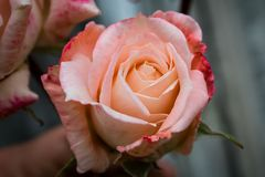Beautiful pink rose in full bloom stock photo