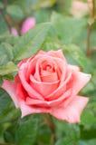 Beautiful pink rose Royalty Free Stock Image