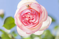 Beautiful pink rose. In the garden Royalty Free Stock Images
