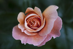 Beautiful pink rose. In the garden Royalty Free Stock Photos
