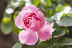 Beautiful pink rose Royalty Free Stock Images