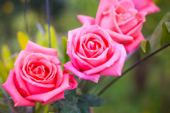 Beautiful Pink rose Stock Photo