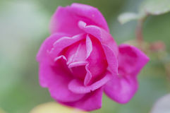 A beautiful pink rose in a garden Stock Image