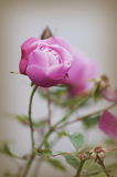A beautiful pink rose in a garden.  Royalty Free Stock Photography