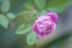 A beautiful pink rose in a garden Stock Images