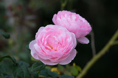 A Beautiful pink rose in a garden Stock Photography