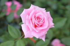 Beautiful Pink Rose. In a garden background Stock Photo