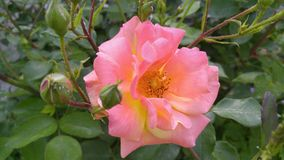 Beautiful pink rose in the garden. Early may. The beauty before my eyes stock images