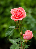 Beautiful pink rose in a garden Stock Images