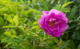 Beautiful pink rose in a garden. Stock Images