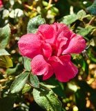 Beautiful pink rose in the garden. Royalty Free Stock Image