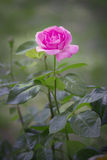 Beautiful pink rose in a garden. With green background Royalty Free Stock Photos
