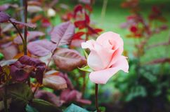 Beautiful pink rose in the garden. Natural summer background royalty free stock photos