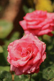 A beautiful pink rose in a rose garden. A beautiful pink rose in a rose garden with one in focus and one in the background bokeh Stock Image