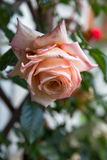Beautiful pink rose in a garden Royalty Free Stock Photography