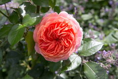 Beautiful pink rose in a garden Stock Image