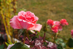 Beautiful pink rose in the garden Stock Photography