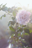 Beautiful pink rose in the garden in soft light Stock Photo