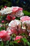 Beautiful pink rose garden Stock Image
