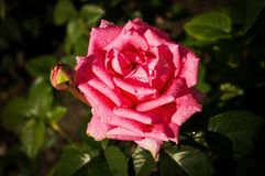 Beautiful pink rose in a garden in the sunlight.  Stock Photos