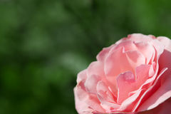 Beautiful pink rose on green. Background in the corner Royalty Free Stock Images