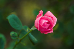 Beautiful pink rose. On green background Royalty Free Stock Photography