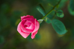 Beautiful pink rose. On green background Royalty Free Stock Image